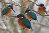 Some lucky Kingfisher shots by Paul_Gerritsen, Photography->Birds gallery