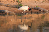 Jabiru and Friends by jeenie11, photography->birds gallery