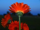 Gerber Daisy at night by beccagsmith, Photography->Flowers gallery