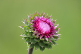 Thistle by Pistos, photography->flowers gallery