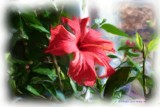 hibiscus by judgepaul, Photography->Manipulation gallery