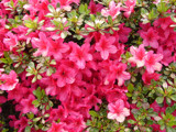 Red Azaleas by lilkittees, Photography->Flowers gallery