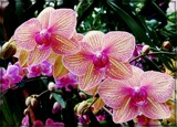 Orchids in Repetition by trixxie17, photography->flowers gallery