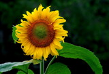 sunflower power by solita17, Photography->Flowers gallery