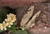 Butterfly Twenty Six by Jimbobedsel, Photography->Butterflies gallery