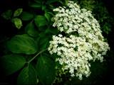 Elderflower by LynEve, photography->flowers gallery