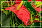 Foofy Friday Anthurium by corngrowth, photography->flowers gallery