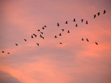 Sunrise migration continued by wheedance, Photography->Birds gallery