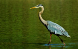 Shallow Walk by SatCom, Photography->Birds gallery