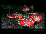 Vidi ch'un s'affaccia quacchi fungi !! by LynEve, Photography->Mushrooms gallery