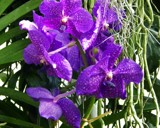 Vanda Orchids by trixxie17, photography->flowers gallery
