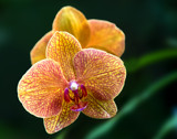 Purple and gold orchid by jeenie11, photography->flowers gallery
