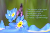 Spring Garden - Forget-me-nots by LynEve, photography->manipulation gallery