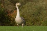 Cygnet by slybri, photography->birds gallery