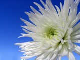 Chrysanthemum by June, Photography->Flowers gallery