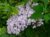Pale Lavender Lilacs by icedancer, photography->flowers gallery