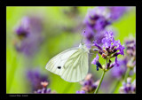 Common White by kodo34, Photography->Butterflies gallery