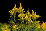 Golden Rod by stylo, photography->flowers gallery