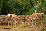 Onagers by Ramad, photography->animals gallery