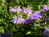 Air Station Prairie - Wild Bergamot by trixxie17, photography->flowers gallery