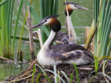 Crested Grebe with chick. by trisbert, Photography->Birds gallery