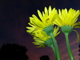 Yellow against the sunset by Pistos, photography->flowers gallery