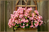 Blinded Begonia's by corngrowth, photography->flowers gallery