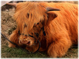 Highland Laddie by LynEve, photography->animals gallery