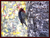 Woody the Wood Pecker.. by ironjoe, Photography->Birds gallery