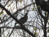 And a Partridge in a ? Tree by scorpie, Photography->Birds gallery