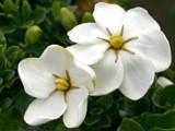 fragrant star gardenia by jeenie11, photography->manipulation gallery