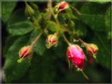 Raindrops on Rosebuds by wheedance, Photography->Flowers gallery
