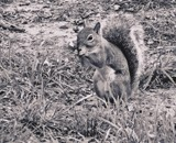 A Georgia Squirrel by Jimbobedsel, contests->b/w challenge gallery