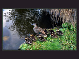 Mrs Mallard & Family by LynEve, Photography->Birds gallery