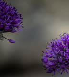 Allium Pair by Pistos, photography->flowers gallery