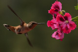Hummingbird in flight by inaz, Photography->Birds gallery