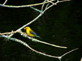 Prothonotary Warbler by CanoeGuru, Photography->Birds gallery