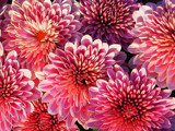 Mums Aglow Frameless by paramedyc, Photography->Flowers gallery