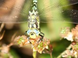 Dragonfly on a Blackberry by cameraatje, photography->insects/spiders gallery