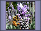 Lavender Feast by LynEve, photography->insects/spiders gallery