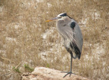 Heron in the Dunes by allisontaylor, photography->birds gallery
