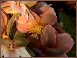 Early Morning Hellebores by trixxie17, photography->flowers gallery
