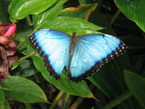 butterfly blue by walshka17, Photography->Butterflies gallery