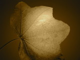 Sepia Leaf by cc_Beowulf, Photography->Manipulation gallery