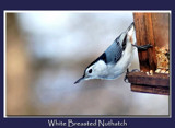 White Breasted Nuthatch by gerryp, Photography->Birds gallery