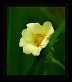 Yellow Wood-sorrel by gerryp, Photography->Flowers gallery