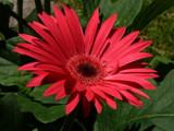 Gerbera Daisy by muki7, Photography->Flowers gallery