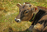 Cow Eyed by cynlee, photography->animals gallery