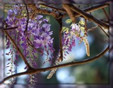 WISTERIA by MsCROW, photography->flowers gallery