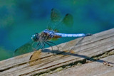 Dragon Fly by photog024, photography->insects/spiders gallery